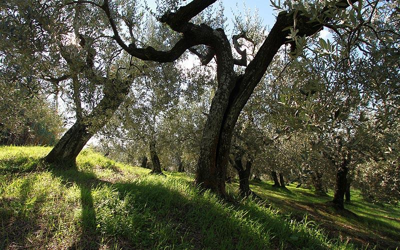 Montalbano meravigliose distese di oliveti