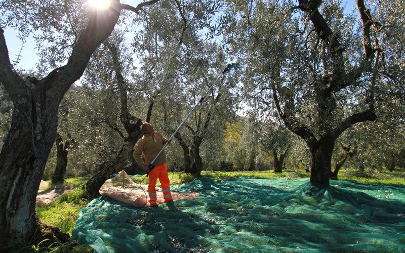 olive cadono nelle reti sotto gli alberi